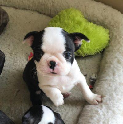 cute boston puppy