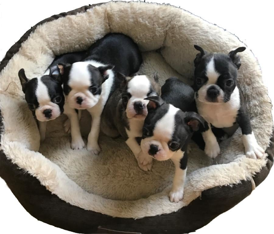 Boston Terrier Puppies for sale in West Virginia